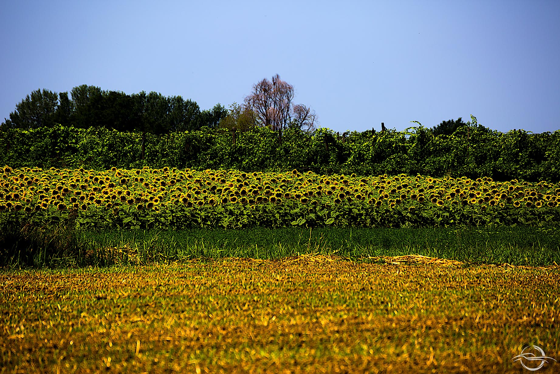 Campo di girasoli a Modena